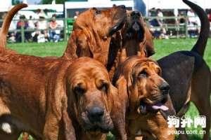 【寻血猎犬档案】纯种寻血猎犬图片-寻血猎犬标准
