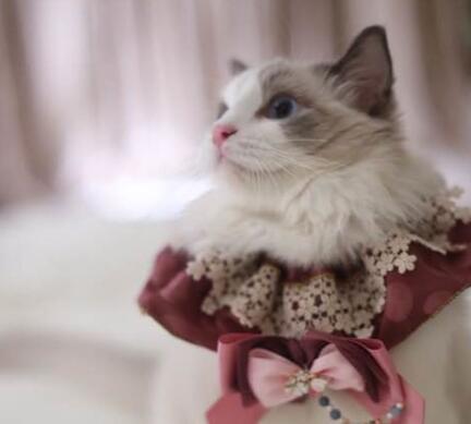 布偶猫的遗传病有哪些?遗传病应该怎么治疗?